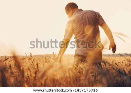 Man walking in wheat during sunset and touching harvest. #1437175916