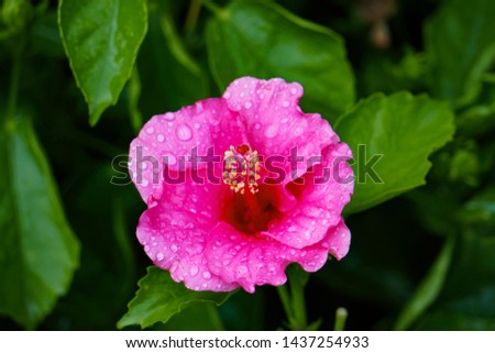 Beautiful Close up Pink Hibiscus Flower green background with Water Drops #1437254933