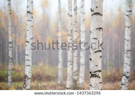 Birch forest in fog. Autumn view. Focus in foreground tree trunk