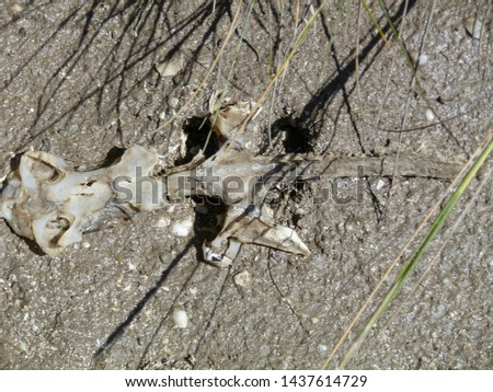 Skeleton of stingray on the beach (Rajiformes)