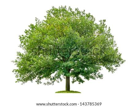 isolated oak tree on a white background Royalty-Free Stock Photo #143785369