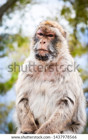 close of view of the gibraltar monkeys #1437978566