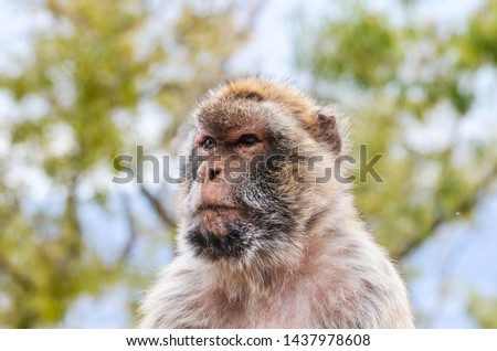 close of view of the gibraltar monkeys #1437978608