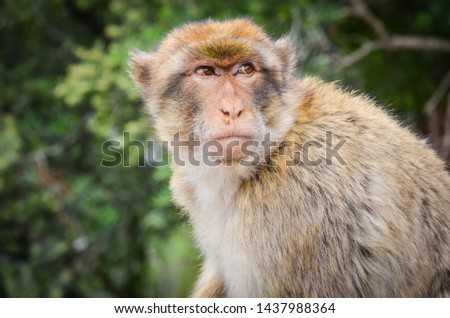 close of view of the gibraltar monkeys #1437988364