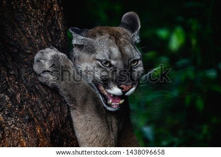 Portrait of Beautiful Puma in wildlife. Cougar, mountain lion, puma, panther.