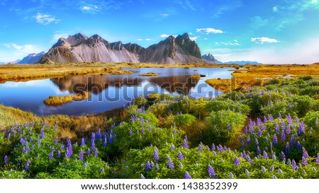 Beautiful sunny day and lupine flowers on Stokksnes cape in Iceland. Location: Stokksnes cape, Vestrahorn (Batman Mount), Iceland, Europe. #1438352399
