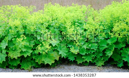 Alchemilla mollis perennial plant under the scientific name . Lady's mantle lining the pathway in an English garden #1438353287