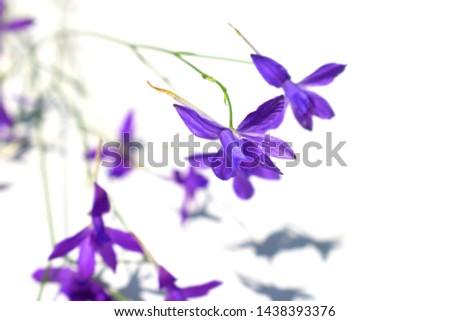 Consolida regalis known as forking larkspur, rocket-larkspur and field larkspur. Violet wild flowers on a light background. #1438393376