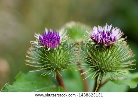 beautiful summer purple thistle flower among greenery in a wild meadow, #1438623131