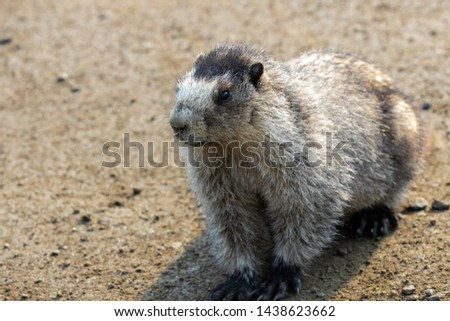 Wild adult Hoary Marmot (Marmota caligata) uncropped sitting close up near Hatcher Pass Alaska #1438623662