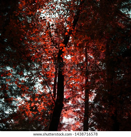 Stunning false red Autumn Fall trees in Fall color in New Forest in England with beautiful sunlight making colors pop against dark background #1438716578