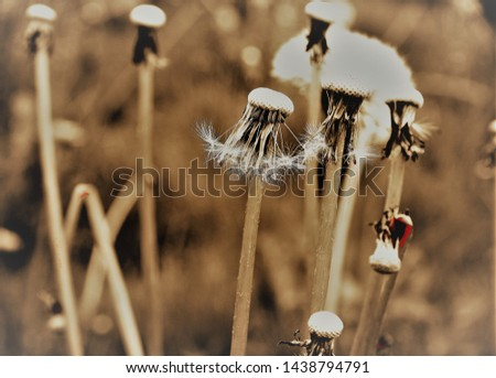 Group with faded dandelions in monochrome,  #1438794791