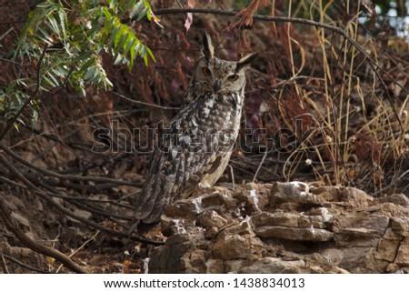 Indian eagle owl, Solapur, Maharashtra, India