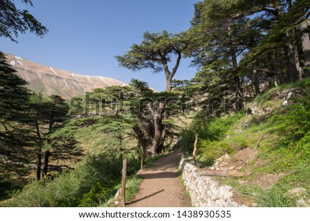 Lebanon cedar. The Cedars of God located at Bsharri, are one of the last vestiges of the extensive forests of the Lebanon cedar that once thrived across Mount Lebanon. Lebanon  Royalty-Free Stock Photo #1438930535