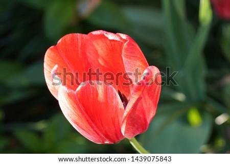 An up close bright tulip #1439075843