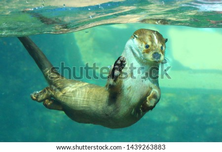 The European Otter - Lutra lutra playing and hunting underwater. This animal is dangerous pest for fish farm and aquaculture. Wildlife in National Park Sumava. Czech Republic, Europe.
