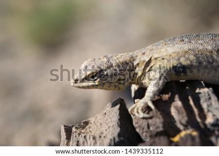 Lizard looking off a rock in The Knolls, Utah. #1439335112