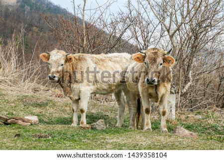 Cows at the Caucasus Mountains.Teberda, Karachay-Cherkess Republic, Russia #1439358104