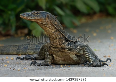 Asian water monitor - Varanus salvator also common water monitor, large varanid lizard native to South and Southeast Asia (kabaragoya, two-banded monitor, rice lizard, ring lizard, plain lizard. Royalty-Free Stock Photo #1439387396