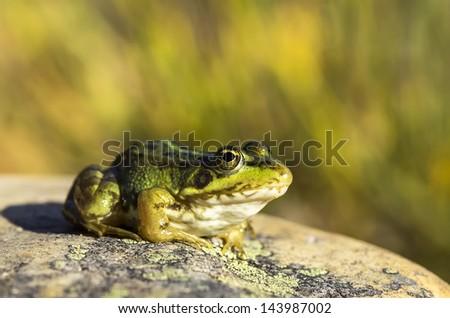 Perez's Frog (Pelophylax perezi) on a rock #143987002
