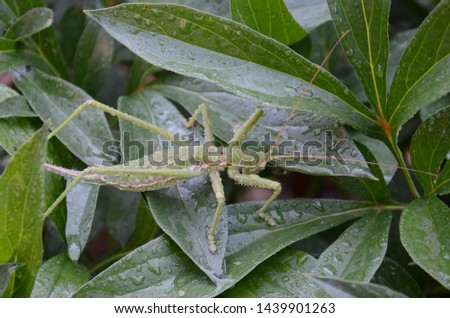 mantis on green leafs with waterdrops #1439901263