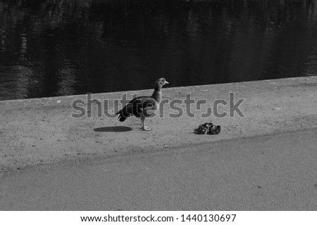 Black and white picture of mother duck and ducklings