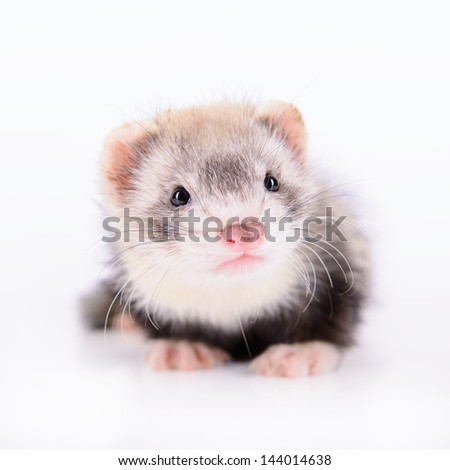 small animal rodent ferret on a white background #144014638
