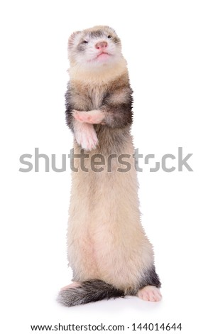 small animal rodent ferret isolated on a white background #144014644