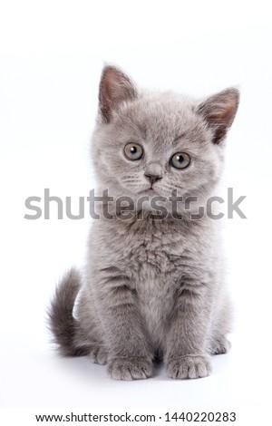 Gray British cat kitten (isolated on white) #1440220283