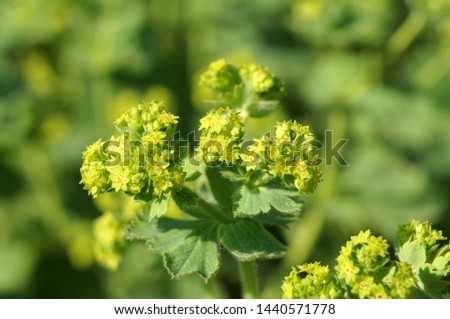 macrophotography of bright green flower cluster of a lady´s mantle, alchemilla vulgaris #1440571778