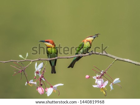 Foraging in the Chestnut-headed Bee-eater #1440819968