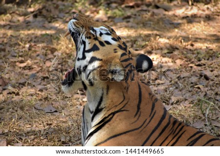 Indian Tigress at Banerghatta National Park #1441449665
