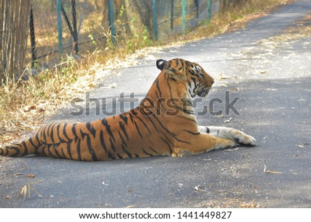 Indian Tigress at Banerghatta National Park #1441449827