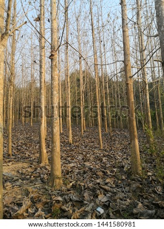 dry trees at agricultural forest in winter #1441580981