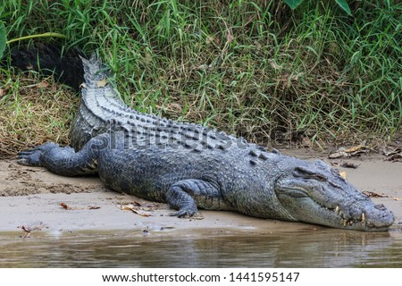 Saltwater Crocodile, in Queensland, Australia #1441595147