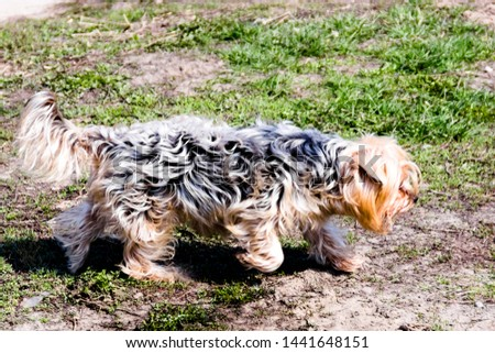 pictured in the photo Little Yorkshire Terrier posing an grass. Yorkie Dog