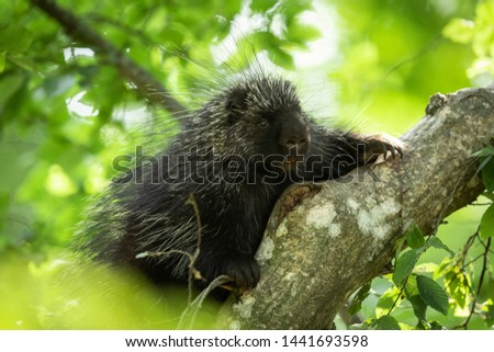 Porcupine of america in the tree #1441693598