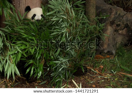 A Panda is hiding and eating