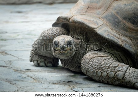Galapagos Giant Turtle. Closeup of a turtle's head basking on stones. #1441880276