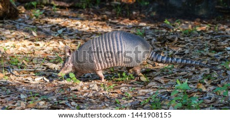 Nine-banded armadillo strolling through the forest