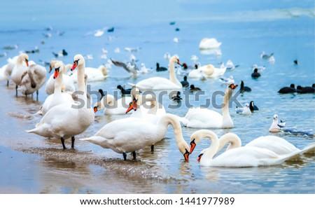 White swan flock on sea beach. White swans. White swan flock view. White swan flock scene #1441977989