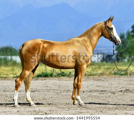 Young golden palomino Akhal Teke horse standing outside in a sun in summer. Side view. #1441995554