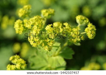 macrophotography of small green flowers of alchemilla, the lady´s mantle in morning sun #1442107457