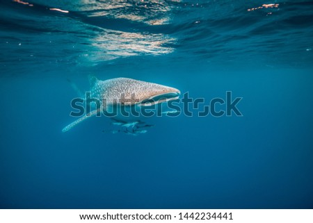 Whale Shark swimming in the wild in clear blue ocean #1442234441