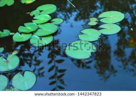 lotus flowers on the lake #1442347823