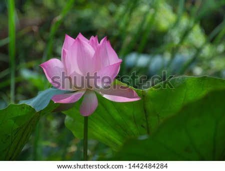Pink lotus flowers are sunshine In the natural pond #1442484284