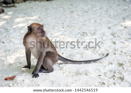 Monkey in Maya Bay beach on Koh Phi Phi Island, Krabi, Southern Thailand. Monkey on a famous island of Thailand. Tourist attraction for western tourists.