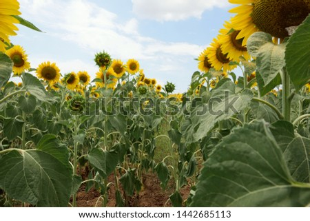 Field with young sunflowers in a field landscape, yellow petals, green stems and leaves, sunflower seeds are not yet fully ripe.  #1442685113
