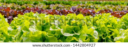 Green Lettuce leaves on garden beds in the vegetable field.  Gardening  background with green Salad plants in the open ground, banner. Lactuca sativa green leaves, closeup. Leaf Lettuce in garden bed #1442804927