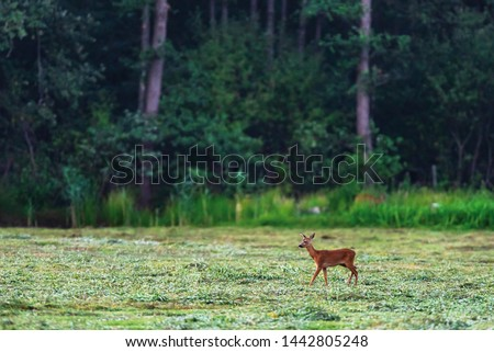 Young roe deer in fresh mowed meadow near forest. #1442805248